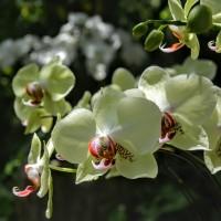 Orchidea z Chin